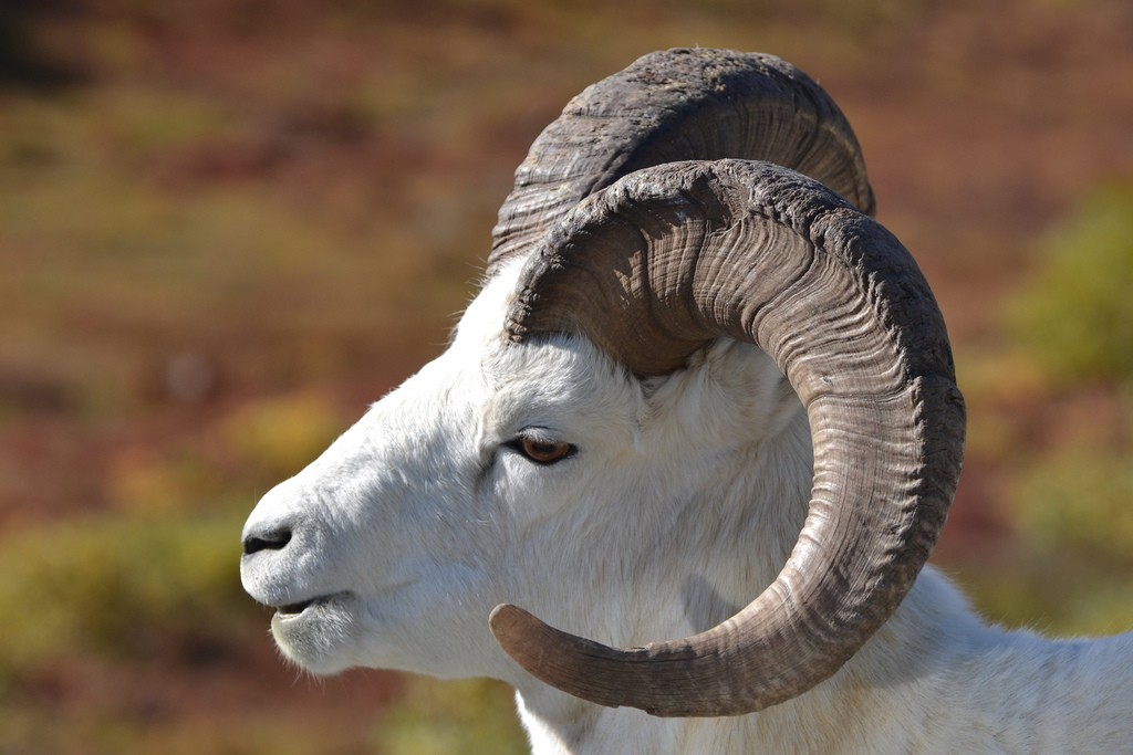 Dall sheep Danali Blmiels2