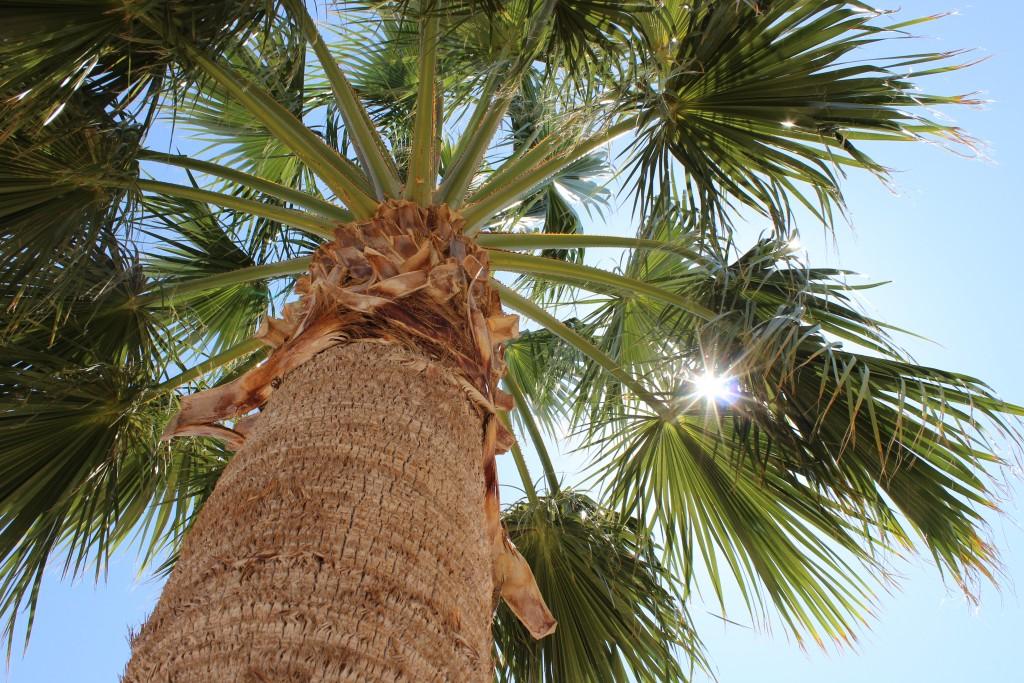 Palmboom in Las Vegas