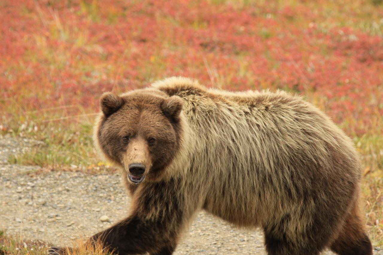 grizzly beer wilde dieren alaska