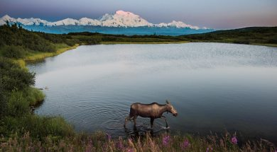 eland in denali national park
