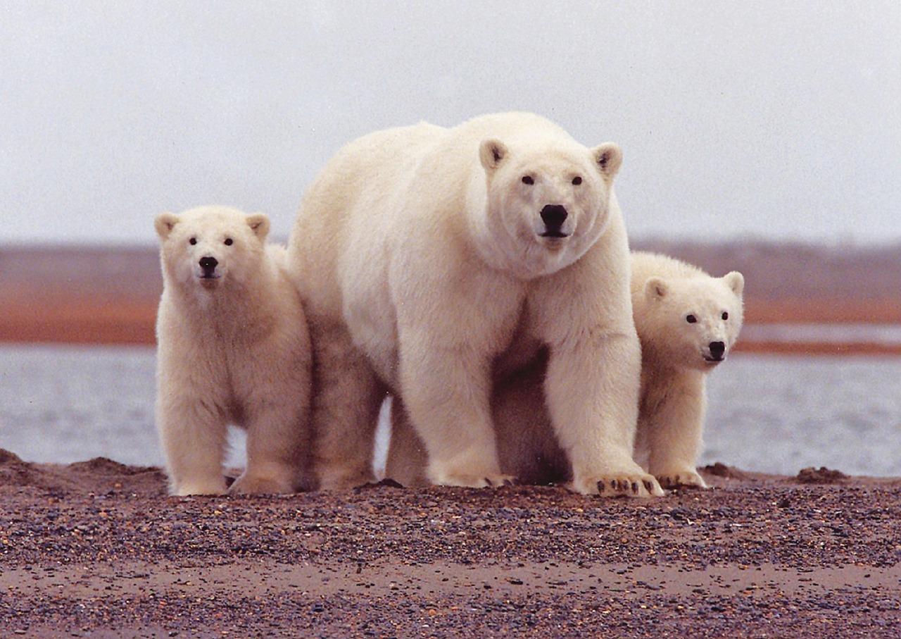 ijsberen wilde dieren in alaska