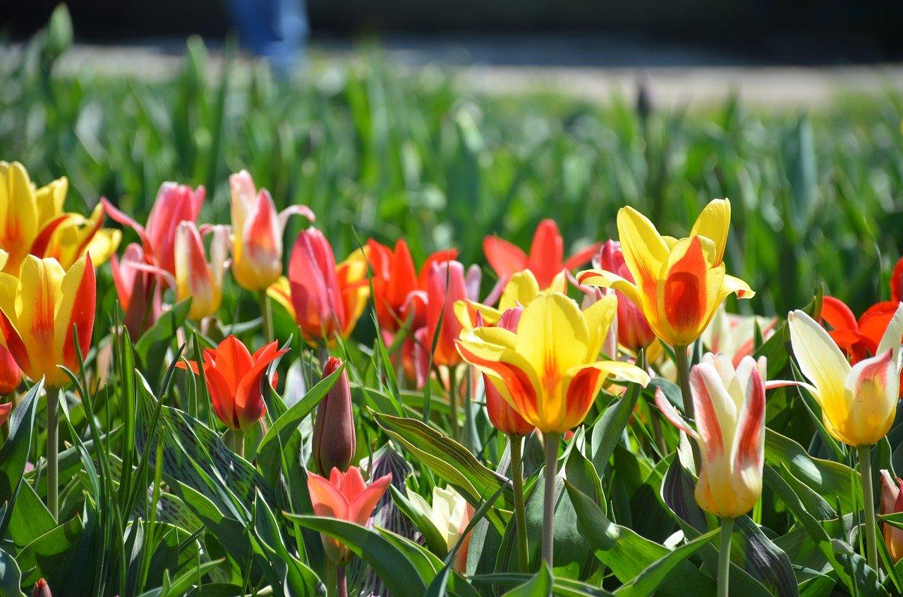 tulpen in holland michigan